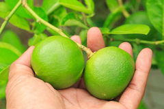 Lemon. On tree before harvest royalty free stock photos