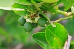 Lemon. On tree before harvest royalty free stock images