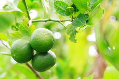 Lemon. On tree before harvest stock photography