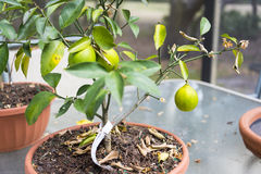 Lemon Tree Harvest Stock Images
