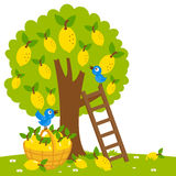 Lemon tree harvesting Royalty Free Stock Photo