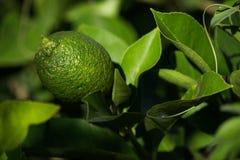 Lemon Tree. Lemon on a tree hit by a ray of sunlight royalty free stock image