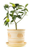 Lemon tree houseplant on white background Royalty Free Stock Photos