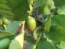 Lemon in tree image. Lemon tree in evening sunshine Stock Image