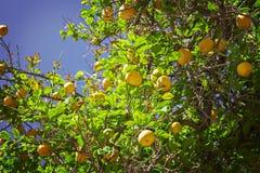 Lemon tree. Image of a lemon tree with plenty of ripe fruit royalty free stock photos