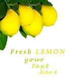 Lemon tree.Isolated. Stock Images