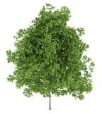 Lemon tree isolated on white Stock Image