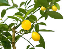Lemon tree isolated on white background Stock Photos