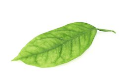 Lemon tree leaf isolated Stock Image