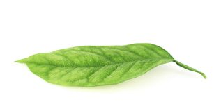 Lemon tree leaf isolated Stock Images