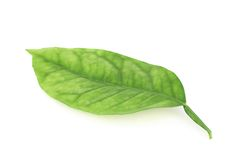 Lemon tree leaf isolated Stock Photo