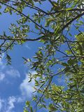lemon tree leaves with blue sky Stock Photography