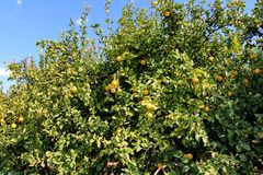 Lemon tree with leaves and fruits Royalty Free Stock Image