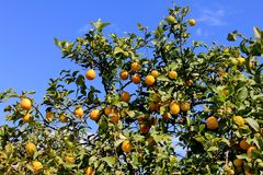 Lemon tree with leaves and fruits Stock Images