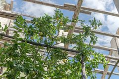 Lemon tree in a lemon greenhouse. In Italy stock images
