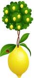 Lemon tree in a lemon Royalty Free Stock Photo