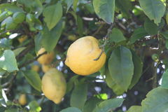 Lemon tree Royalty Free Stock Photos