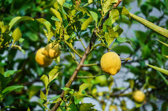 Lemon Tree Stock Image
