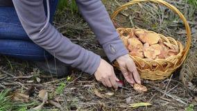 Picking saffron milk cap mushrooms stock video