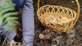Picking pine mushrooms stock footage