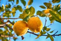 Lemon tree with lemons. Royalty Free Stock Photos