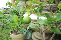 Lemon tree or lime tree. In the garden stock image