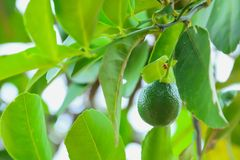 Lemon on the tree. Lime in Thailand is characterized by a spherical shape and has a very sour taste and is used for cooking and as a drink for thirst royalty free stock photos
