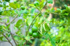 Lemon tree or lime tree in the garden. Close up royalty free stock photo