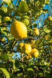 Lemon tree. Loaded with fresh fruit waiting to be harvested Royalty Free Stock Photography