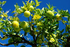 Lemon tree with many lemons Royalty Free Stock Images