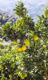 Lemon tree in the mountains of Lucena. In the Spanish province of Cordoba on a sunny day. It´s a vertical picture royalty free stock images