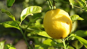 Lemon tree moved by the wind stock footage