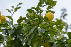Lemon on Tree Stock Images