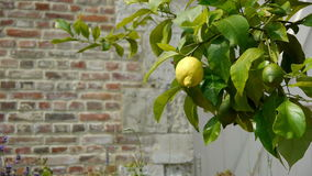 Lemon tree at an old walled botanical garden stock video footage