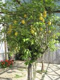 Lemon tree. Pictured at the amalfi  coast, Italy Royalty Free Stock Image