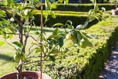 Lemon tree in pod in Giusti Garden in Verona city Stock Images