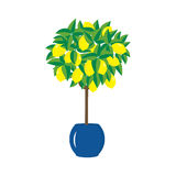 Lemon tree in a pot Royalty Free Stock Images