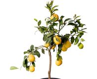 Lemon tree in the pot isolated. Big lemon tree with many fruits isolated on white royalty free stock photos