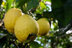 Lemon tree after the rain. Several large lemon fruits hang on a branch on which water drips royalty free stock image