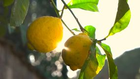 Lemon tree and the rays of the sun.  stock footage