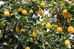 Lemon tree. With ripe fruit and rose blooms in Portugal stock images