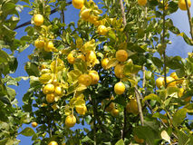 Lemon Tree. With ripe fruits Royalty Free Stock Photo