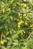 Lemon tree with ripe lemons Stock Photography