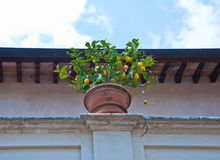 Lemon tree. On the roof of old building Royalty Free Stock Photos