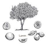 Lemon tree sketch Stock Image