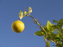 Lemon Tree - Spain Stock Photos