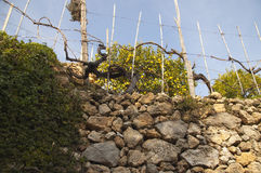 Lemon tree and stone wall Royalty Free Stock Image