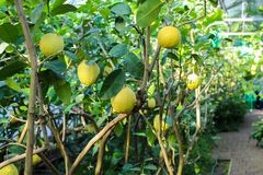 On the tree hang ripe lemon a few fresh, delicious fruit of the lemon is illuminated by the sun stock photos