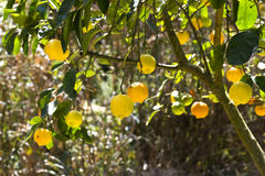 Lemon tree Royalty Free Stock Images