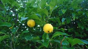 A lemon tree with two hanging lemons on it Royalty Free Stock Photography